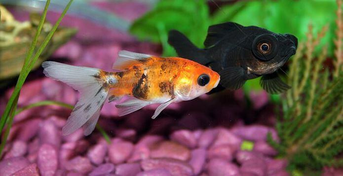 1) Because Of Illness - why do goldfish turn black