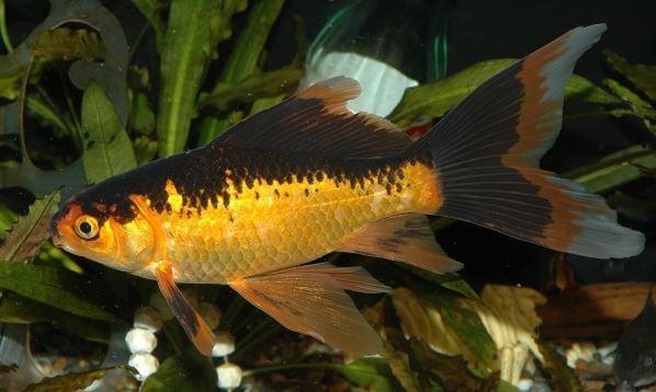 2) Due To Genetics - goldfish black fins