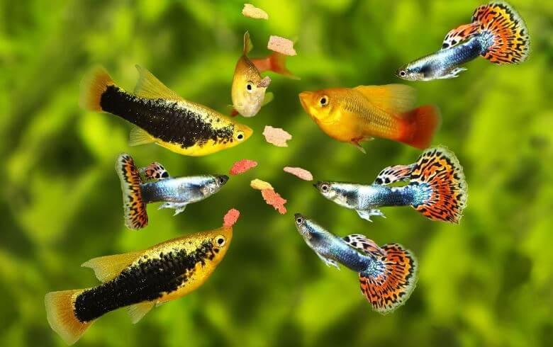 3) Bad Food - my betta fish isn't eating