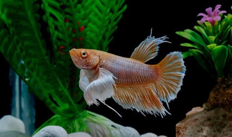 7) Digestive System Problem - my betta fish won't eat