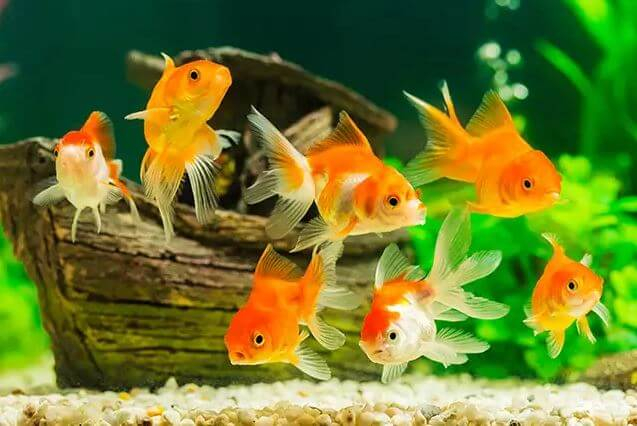Goldfish Become White Due To Old Age