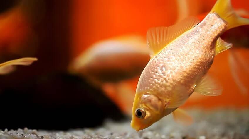 Goldfish Turning White Due To Loneliness