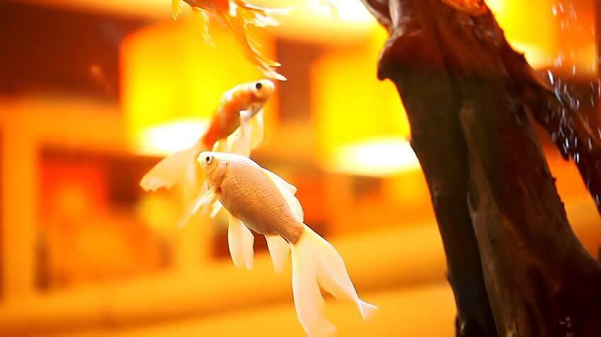 Goldfish Turning White Cause Of Light