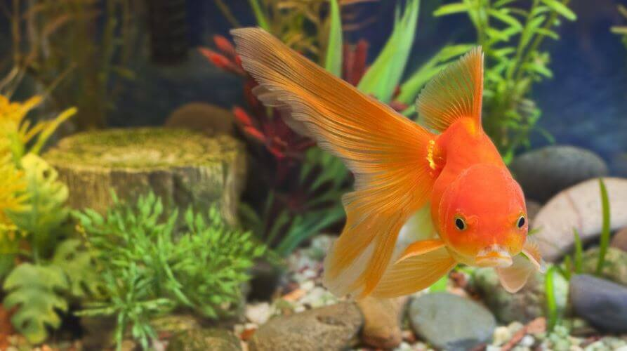 Goldfish Lost Color Cause Of Sickness
