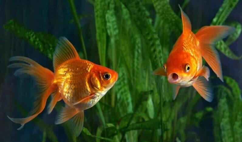 Importance Of Goldfish Color