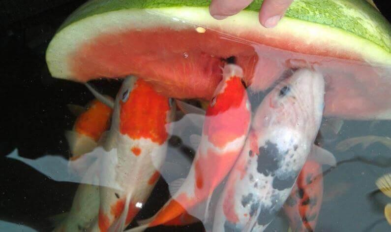 Koi Fish Eating Watermelon