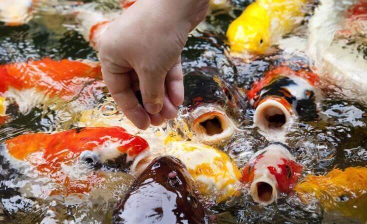 Sea Food - what do koi eat