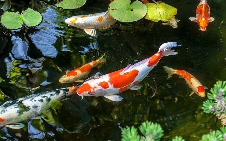 What Does Koi Eat In Natural Environment.