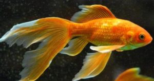 Why Is My Goldfish Turning White? [Reasons]