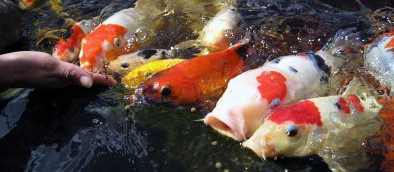 What Do Koi Fish Eat? [Complete Guide on Koi Fish Feeding]