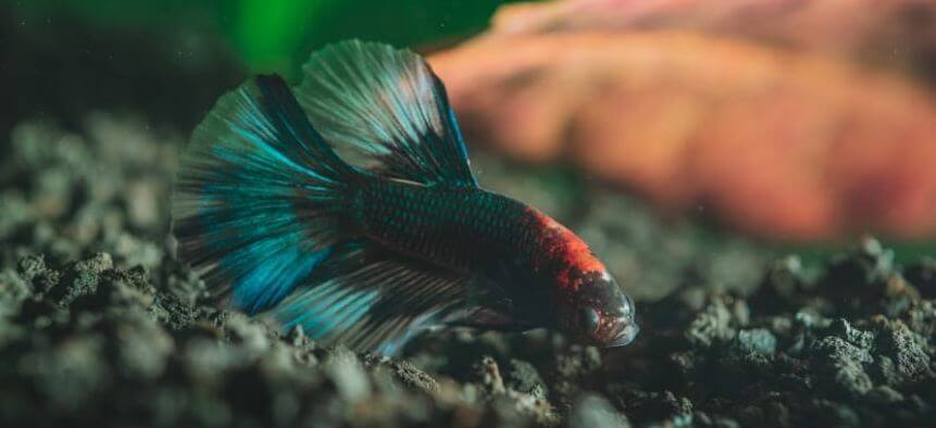 8 Best Substrate For Betta Fish [Reviews & Buyers Guide – 2021]