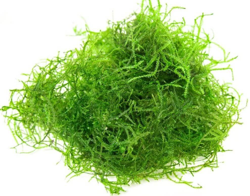 5) Aquatic Arts Deluxe Java Moss