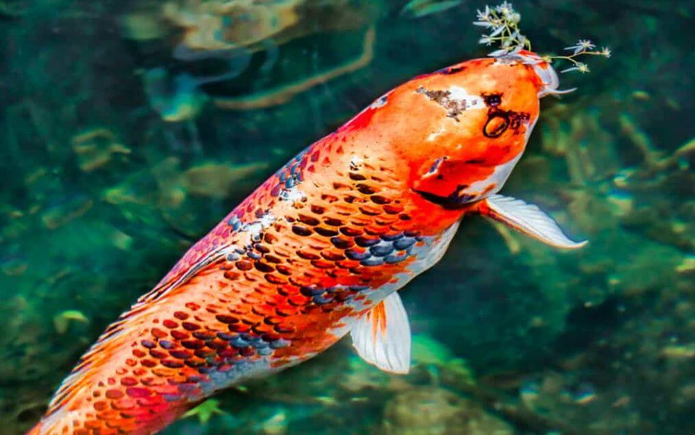 Koi Food Specifications